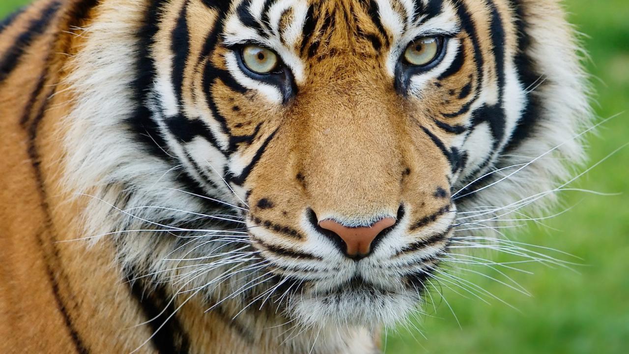 een tijger is niet van uitstelgedrag